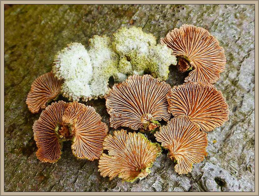 An sonnig liegenden Buchenstämmen siedeln diese markanten Spaltblättlinge (Schizophyllum comune). Ungenießbar.
