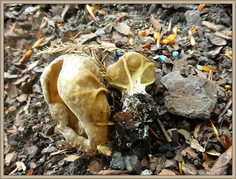 Diese beiden Exemplare der essbaren Hochgerippten Becherlorchel (Helvella acetabulum) konnten wir gestern am Wanderweg unterhalb Schloß Wiligrad finden. Die warmbraune Färbung mit den weißlichen Rippen auf der Außenseite sind recht markante Kennzeichen dieses im Frühling recht häufigen Laubwaldpilzes.