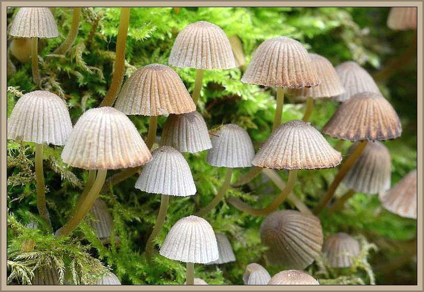Ein alter, bemooster Eschenstamm war von diesen dekorativen Pilzen besetzt. Nach mikroskopischer Untersuchung von Torsten Richter handelt es sich um den Gesäten Tintling, einer häufigen Art. Eigentlich ein leicht kenntlicher Pilz, gäbe es nicht einen wesentlich selteneren Doppelgänger aus der Gattung der Mürblinge, der im Zweifel eine mikroskopische Untersuchung sinnvoll erscheinen läßt.