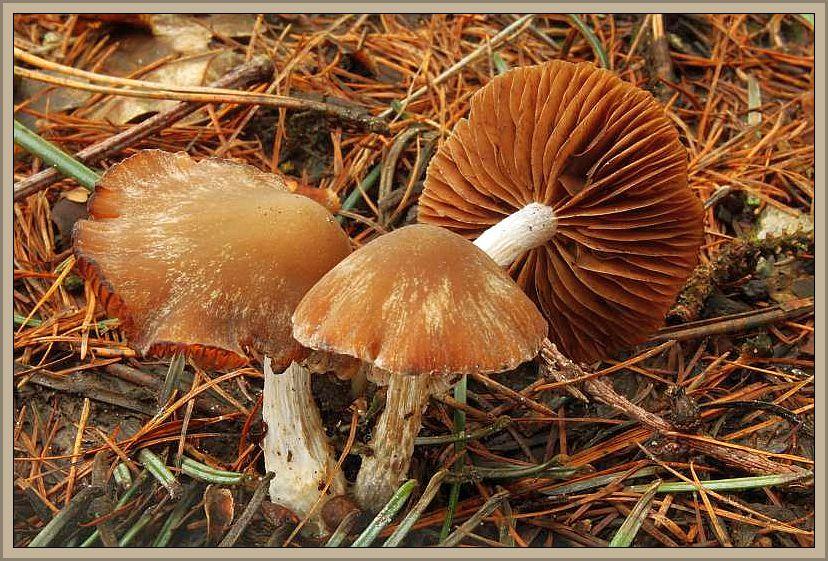 Schrägberingter Gürtelfuß (Cortinarius biformis). Ein Pilz des Spätherbstes besonders in alten, sauren Fichtenwäldern. In den natürlichen Fichtenbereichen ein häufiger Schleierling. In Mecklenburg eher seltener und zerstreut. In Zukunft sicher stark rückläufig, da bei uns kaum noch Fichten aufgeforstet werden. Der kegelige bis glockige Hut erreicht 3 - 6 cm im Durchmesser ist ist meist recht spitz gebuckelt und bei Feuchtigkeit warm nussbraun gefärbt. Bei trockenem Wetter deutlich heller. Die breiten, zimtbraunen Lamellen stehen etwas entfernt und sind an den Schneiden etwas heller und gesägt. Der hellere Stiel ist jung etwas gestiefelt mit einer watteartigen, oft schrägen Ringzone, die im Alter recht vergänglich ist. Ohne besonderen Geruch und Geschmack. Kein Speisepilz. Das Foto hat Wilhelm Schulz am 25.11.2014 aufgenommen.