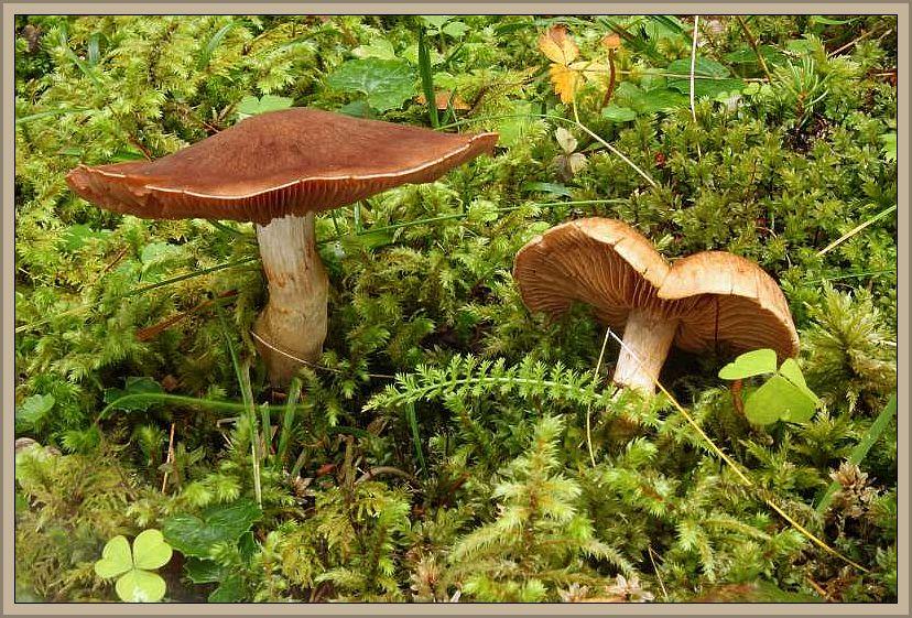Dickfüßiger Nadelwad - Gürtelfuß (Cortinarius bovinus). Hellbrauner Hut mit dunklerer Mitte, 3 - 7 cm breit, Stiel meist ziemlich stämmig und nicht so schlank wie auf dem Foto, nach unten verdickt. 3 - 6 cm lang und bis zu 3,5 cm dick. Graubraun und mit unvollständiger Gürtelzone. Fleisch weißlich bis bräunlich. Im Nadelwald unter Kiefern und Fichten. 1968 von Dahnke bei Parchim angegeben. Sonst ist die Verbreitung in Mecklenburg unbekannt. Das Foto hat uns Wilhelm Schulz zur Verfügung gestellt. Er hat es am 15.10.2014 bei Mallnitz im Seebachtal aufgenommen. Speisewert unbekannt.