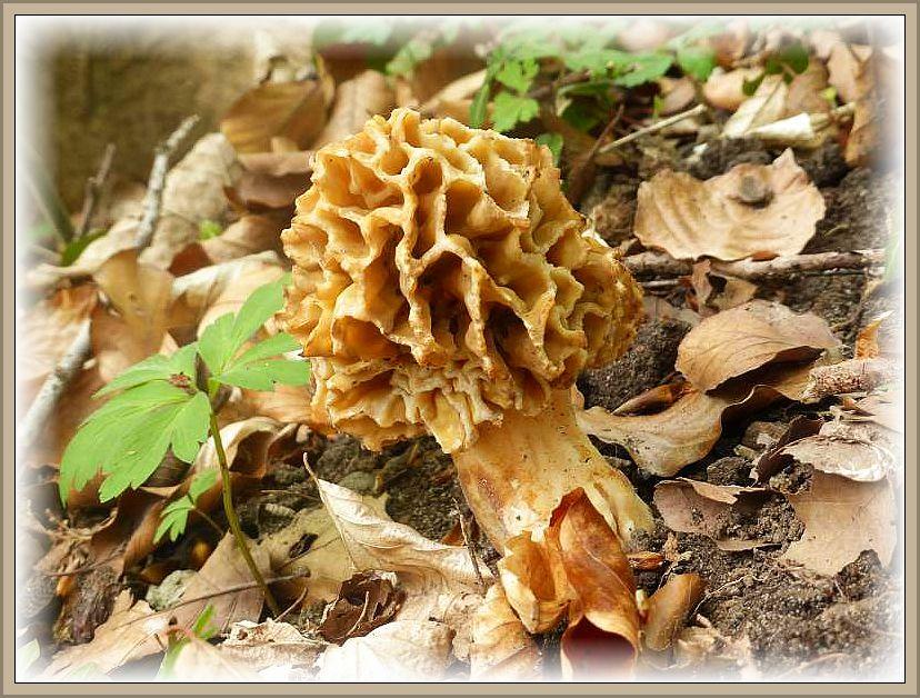 Eine Speisemorchel (Morchella escullenta) im frischen, ausgereiften Stadium. So sind sie kaum noch zu übersehen.