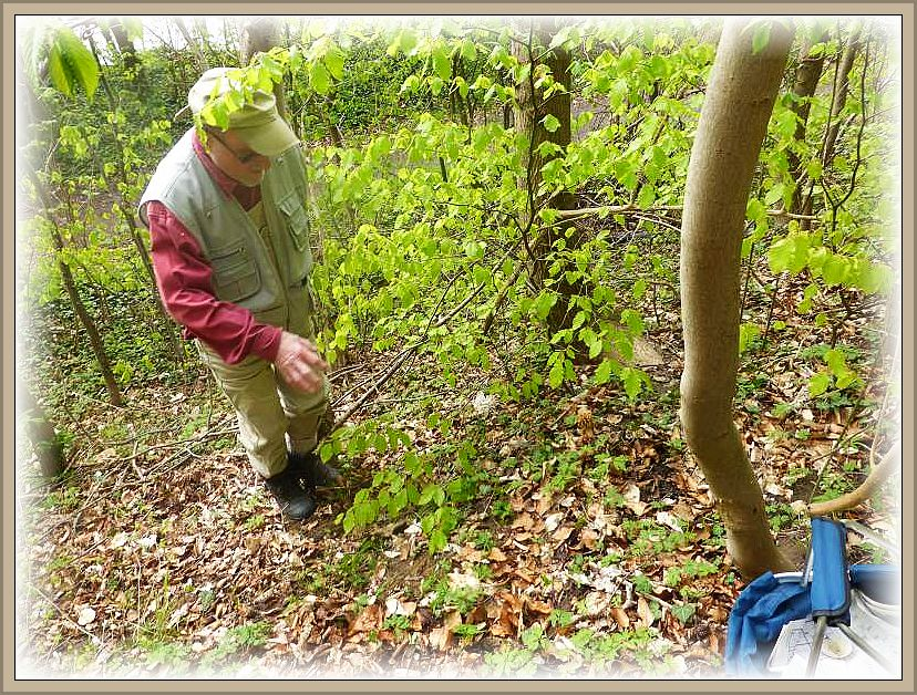 Nach dem dieser Schweriner Pilzfreund die erste, schöne Morchel entdeckt hatte, gab es kein halten mehr. Das Morchelfieber war ausgebrochen!