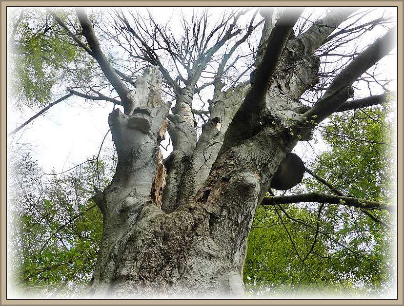 Diese Buche hat inzwischen das zeitliche gesegnet und ist von Zunderschwämmen besetzt. Hier dürfen Bäume noch richtig alt werden und eines natürlichen Todes sterben.