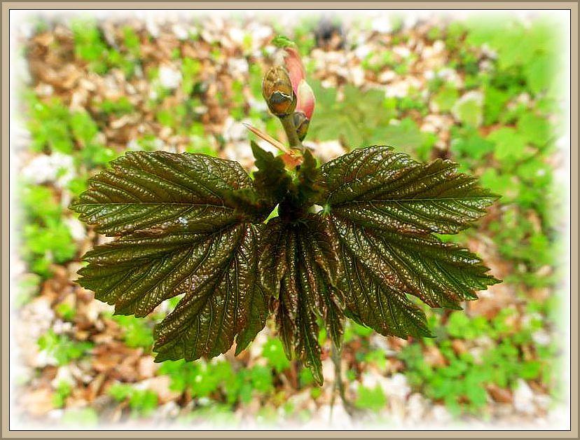 Sehr dekorativ diese sich gerade entfaltenden Blätter des Ahorn.