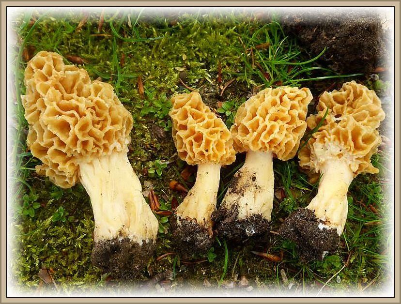 Noch eininge weitere dieser herrlichen und teuer gehandelten Frühlingspilzen waren an diesem Hang zu finden, so dass die Mühen für die meisten Pilzfreunde belohnt wurde.