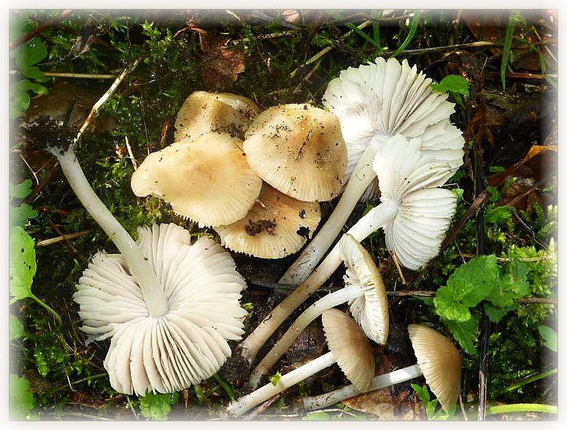Über diese Pilze habe ich mich gestern während des Erntens von Maipilzen ganz besonders gefreut. Um mulmigen Holzresten herum wuchs eine auffällige Gruppe von dünnstieligen Blätterpilzen. Es handelt sich um Voreilende Helmlinge (Mycena abramsii). Die Art soll ausgesprochen häufig sein, ich habe sie aber noch nicht oft bewußt gefunden. Standortfoto im Wald bei Jesendorf. Ohne Speisewert.