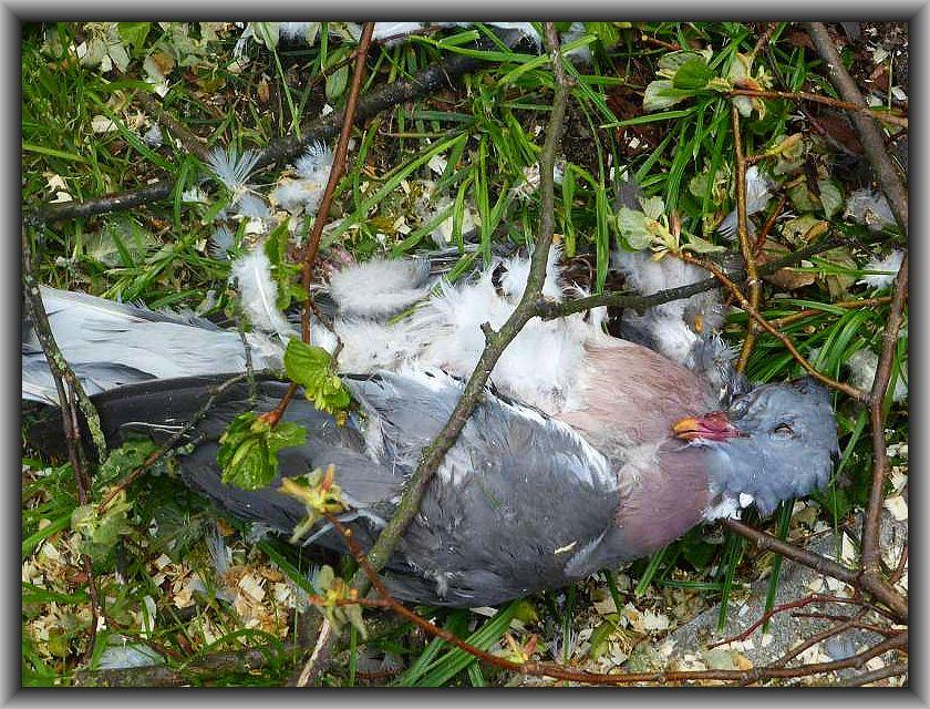 Bis auf einige Verletzte, haben die meisten Menschen dieses urgewaltige Naturschauspiel überlebt, nicht aber diese Taube, die am Wegesrand zwischen den Trümmern lag. Ihr sanft friedlicher Anblick in Mitten des Chaos ist einfach berührend!