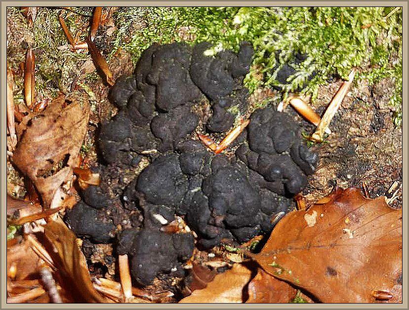 Zu den Schlauchpilzen gehört der Brandfladen (Hypoxylon deustum).