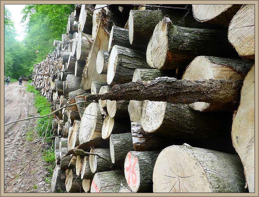 Ganze Wände von Stapelholz säumten den Waldweg. Wie lange halten unsere alten Wälder diesem Raubbau noch stand?