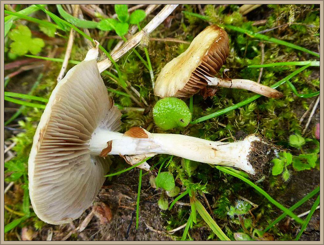Hier sehen wir eine weitere, recht häufige Frühjahrsart, den Frühlings - Ackerling (Agrocybe praecox). Der essbare Pilz ist in Laub- und Nadelwäldern, aber auch besonders zahlreich auf Rindenmulch zu finden. Beigegelbe hüte, graue bis tabakbräunliche Lamellen, ein Häutchen zwischen Hutrand und Stiel, der später als Ring den Stiel säumt und rettichartige Geruch mit Anklang an Kakao kennzeichnen ihn. Essbar. Foto am 26.05.2015 am Bibowsee.