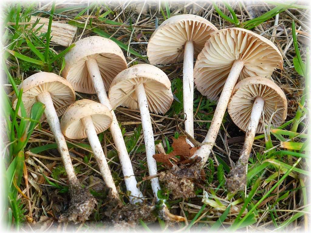 Kräftige Regenfälle brauchen auch diese schmackhaften Speisepilze, um erscheinen zu können. Es handelt sich um Nelkenschwindlinge (Marasmius oreades). Sind sie erst einmal erschienen, können sie sich am Standort lange halten. Durch Wind und Sonne schurren sie zusammen und bei einsetzender Feuchtigkeit leben sie wieder auf. Das erklärt die Bezeichnung Schwindlinge. Diese Pilze wurden am letzten Wochenende in Schwerin gefunden.