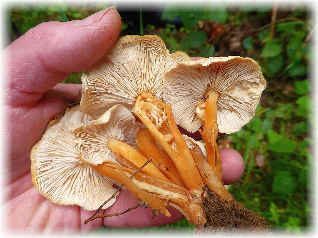 Zu den heutigen Funden zählten auch einige Stellen mit Waldfreund - Rüblingen (Collybia dryophila). Essbar, aber minderer Güte.