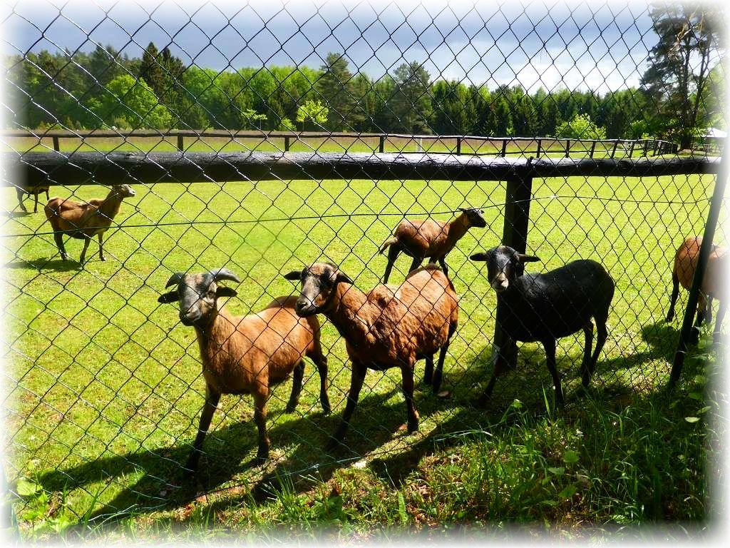 Auf dem weitläufig eingezäunten Gelände der Klinik am Bibowsee begrüßten uns lautstark diese Ziegen oder sind es etwa Schafe?