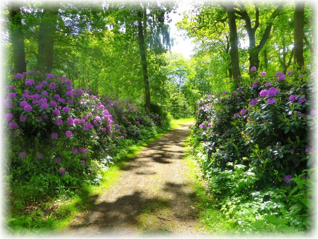 Der Schloßpark zu Hasenwinkel ist auch bekannt für seinen Rhododendron - Bestand.