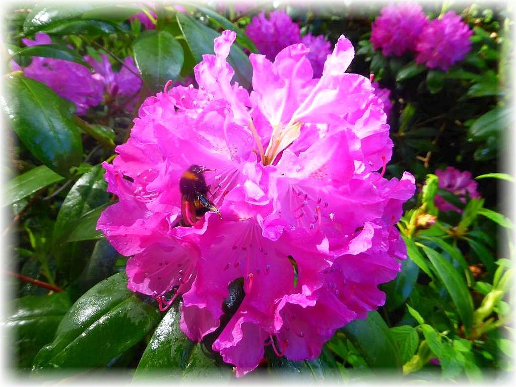 Vor allem Hummeln sorden für die Bestäubung der Blüten. Ich habe heute aber auch Hornissen an ihnen gesehen.