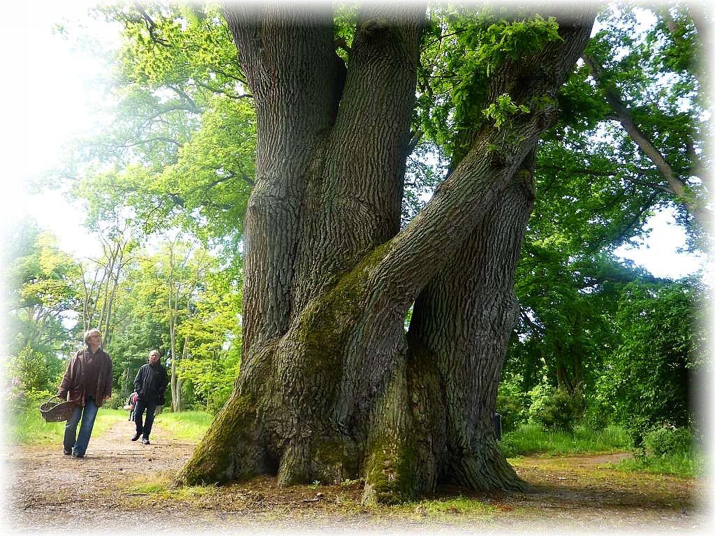 Imposant und sehenswert ist auch der alte Baumbestand des Schloßparks, so wie diese Eichen - Familie.