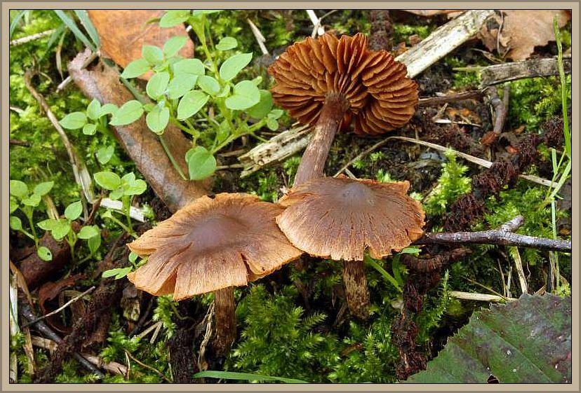 Violetter Erlen - Wasserfuß (Cortinarius pulchellus). Bei den von Wilhelm Schulz fotografierten Pilzen ist leider kaum noch ein violetter Farbton auszumachen, aber das ist die Problematik bei vielen Schleierlingen, dass sie jung oft lebhahte Farnen aufweisen, insbesondere auch blaue und violette, von denen in der weiteren Entwicklung kaum noch etwas auszumachen ist. Da ich die Art nicht kennen, vertraue ich auf die Kompetenz von Wilhelm Schulz .b.z.w des Bestimmers. Die Pilzart ist auch in Mecklenburg nachgewiesen und auf der Verbreitungskarte der DGfM für M-V sind besonders an der Seenplatte einige Fundpunkte verzeichnet. Das Foto entstand am 24.11.2014 in der Sonsbecker Schweiz im Graefental bei Goch.