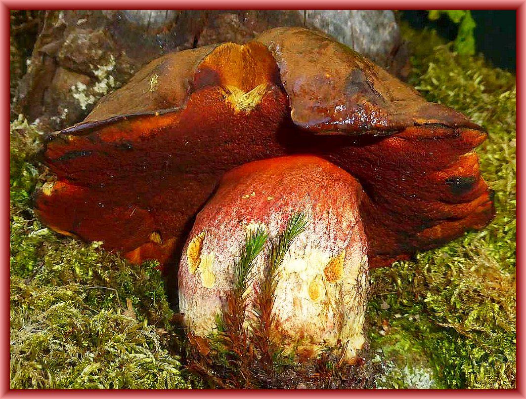 Dieses kapitale, pochharte und 350g schwere Exemplar eines Flockenstieligen Hexen - Röhrlings fand Irena gestern im Schweriner schloßpark während einer Kräuterwanderung. Es Bereichert nun unsere Pilzausstellung. Gut durchgegart ist dieser Pilz einer der schmackhaftesten Speisepilze unserer Wälder.