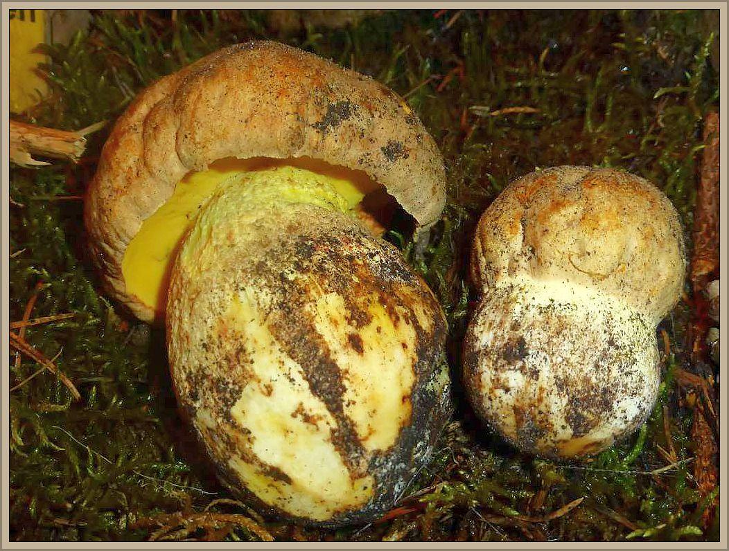 Auch diese beiden Fahlen Röhrlinge (Boletus impolitus) sind aktuell auf unserer Pilzausstellung zu sehen und zu riechen. Dieser Dickröhrling besitz einen etwas aufdringlichen Phenol - Geruch, der ihn als Speisepilz zur Geschmacksache macht. In Michael - Hennig - Kreisel ist zu lesen: Einer der vorzüglichsten Speisepilze, von besonderem Wohlgeschmack, ergibt eine gelbliche  mit Fleischbrühgeschmack.Speisepilz