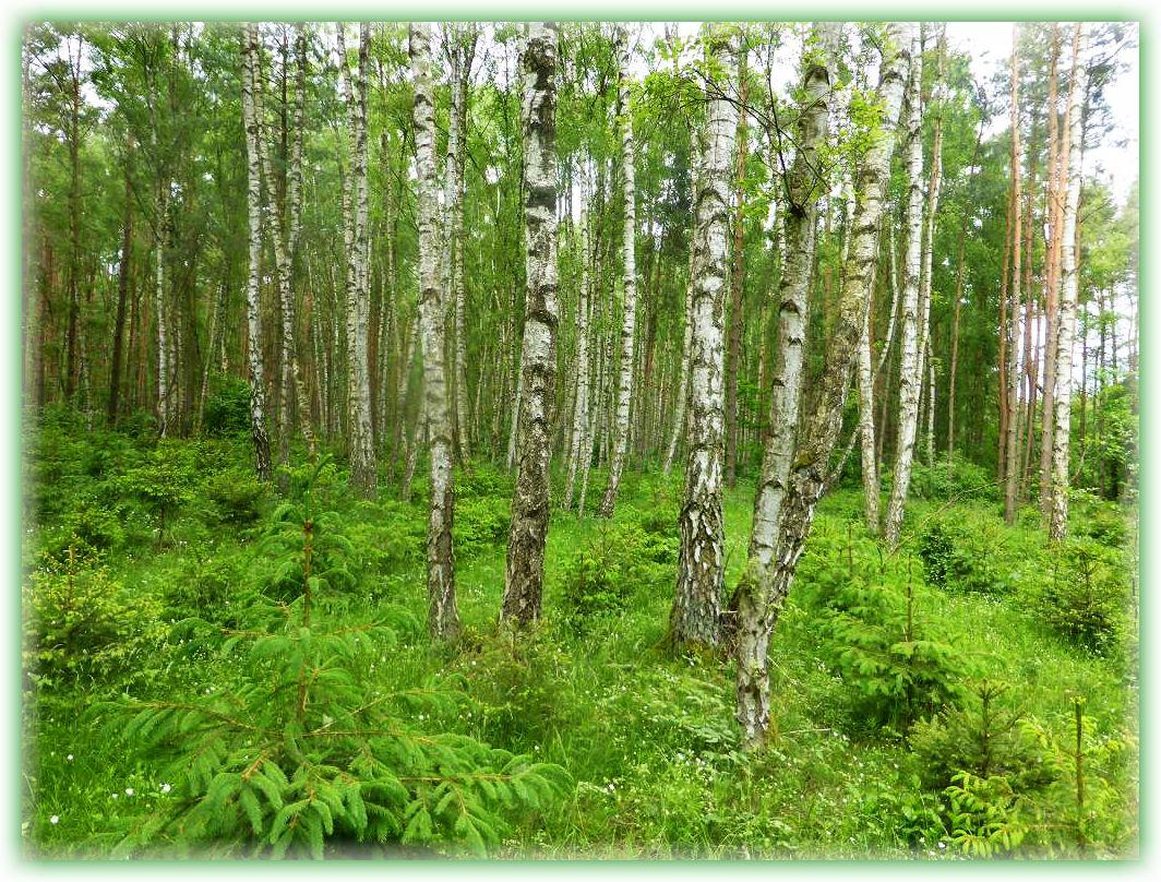 Besonders erfreut war ich über diesen Waldbereich. Ein schöner Birkenwald der mit jungen Fichten frisch aufgeforstet wird. Es gibt also noch Förster, die diesem wichtigen Waldbaum auch bei uns noch eine Chance geben. Leider werden in neuerer Zeit anstatt Fichten, lieber Douglasien geforstet. Die Fichte ist für uns Pilzfreunde ein sehr bedeutsamer und wichtiger Baum im Gegensatz zu Douglasien.