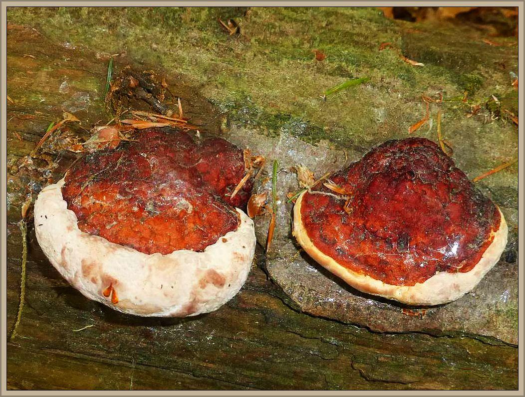 Diesen Pilzen dürfte die Trockenheit allerdings wenig ausmachen. Es handelt sich um Rotrandige Baumschwämme (Fomitopsis pinicola), die ich am 03. Juni bei meiner Waldumrung bei Klein Warin fotografiert habe. Sie ziehen Nährstoffe und Wasser aus dem Holz. - Aber warum hepßt der Porling der Rotrandige, weißrandig würde wohl eher zutreffen. In der Tat ist die Art farblich sehr veränderlich und die frischen Zuwachskannten dieses mehrjährigen Pilzes sind nunmal weißlich gefärbt und sonders häufig auch noch wässerige Gutationströpfchen ab.