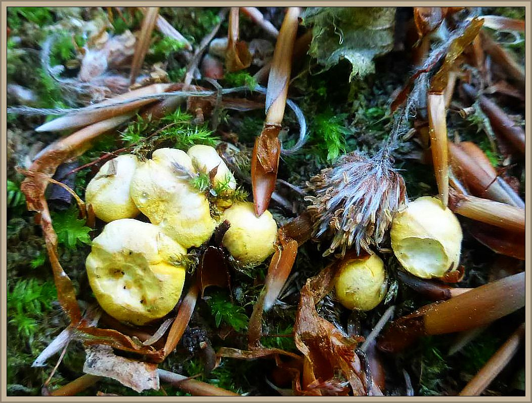 Aber ganz ohne Wald und Pilze ging es dann doch nicht. Ich stattete einem stadtnahen Buchenwald inen kurzen Informationsbesuch ab. Die Pfifferlinge (Cantharellus cibarius) sind nun endlich auch bei uns im unterkühlten und trockenen Mecklenburg am kommen. Auf dem ausgehagerten Buchenwalsboden schoben sich zahlreiche, gelbe Knöpfchen empor. Die größten von ihnen mit einem Hutdurchmesser von etwa 1 cm. Nun brauchen wir dringend Regen, sonnst vertrocknet uns die Brut wieder. Standortfoto am 10.06.2015.