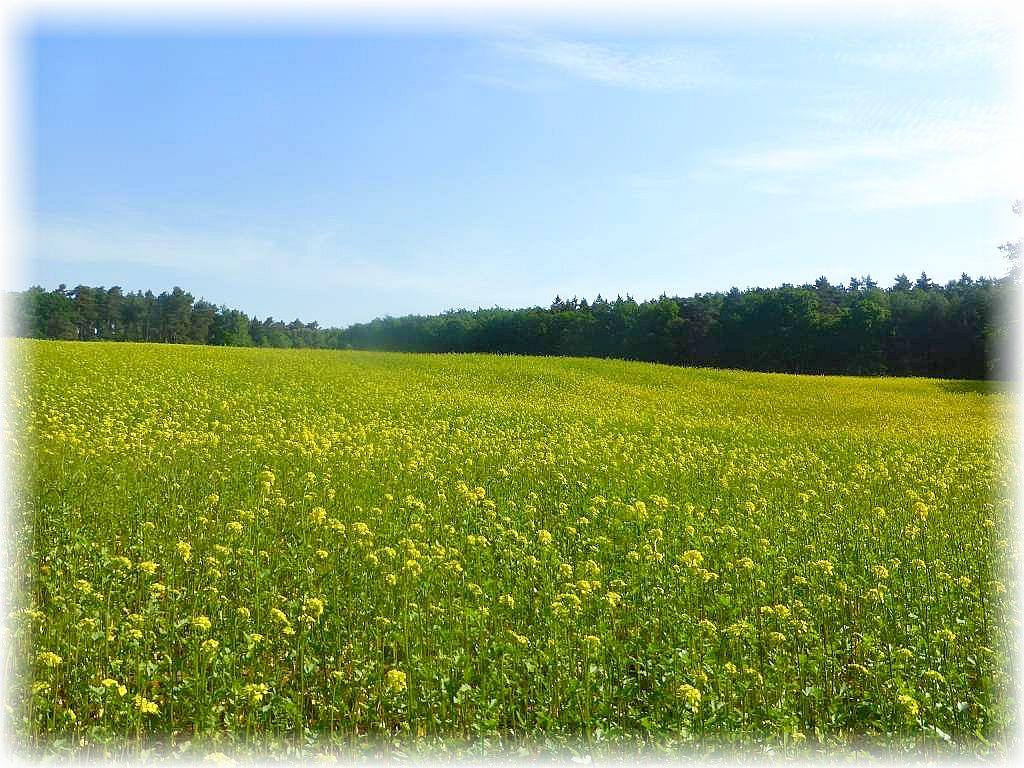 Waldbereiche wechselten mit teils blühenden Feldern und Wiesen. Da der Raps bereits abgeblüht ist, dürfte es sich hier um einen andere Kultur handeln.