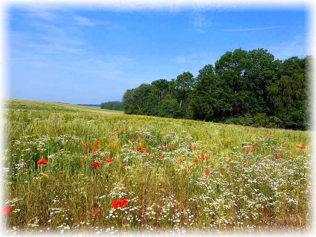 Ist das nicht ein herrlicher Anblick. Ein Getreidefeld durchwachsen von einer Vielzahl von Wildkräutern und Blumen. Nicht steril gehalten durch Unkrautvernichtungsmittel. Diesen Anblick muss man genießen!