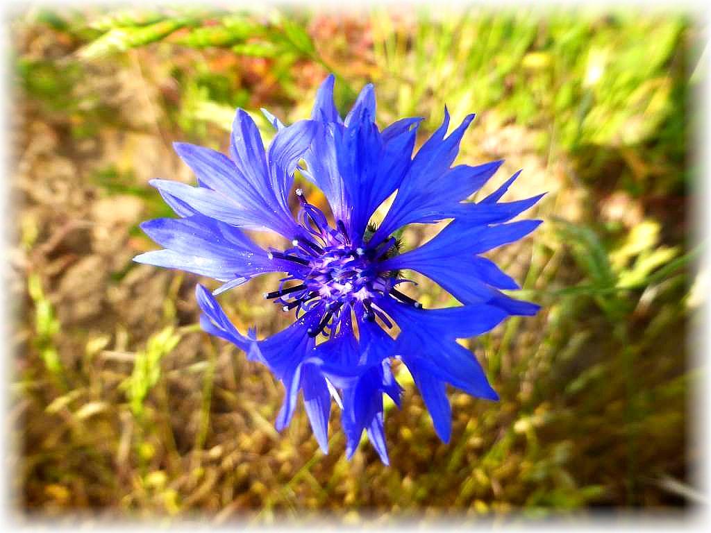 und in einem leuchtenden Blau erstrahlen die filigranen Blüten der Kornblume.