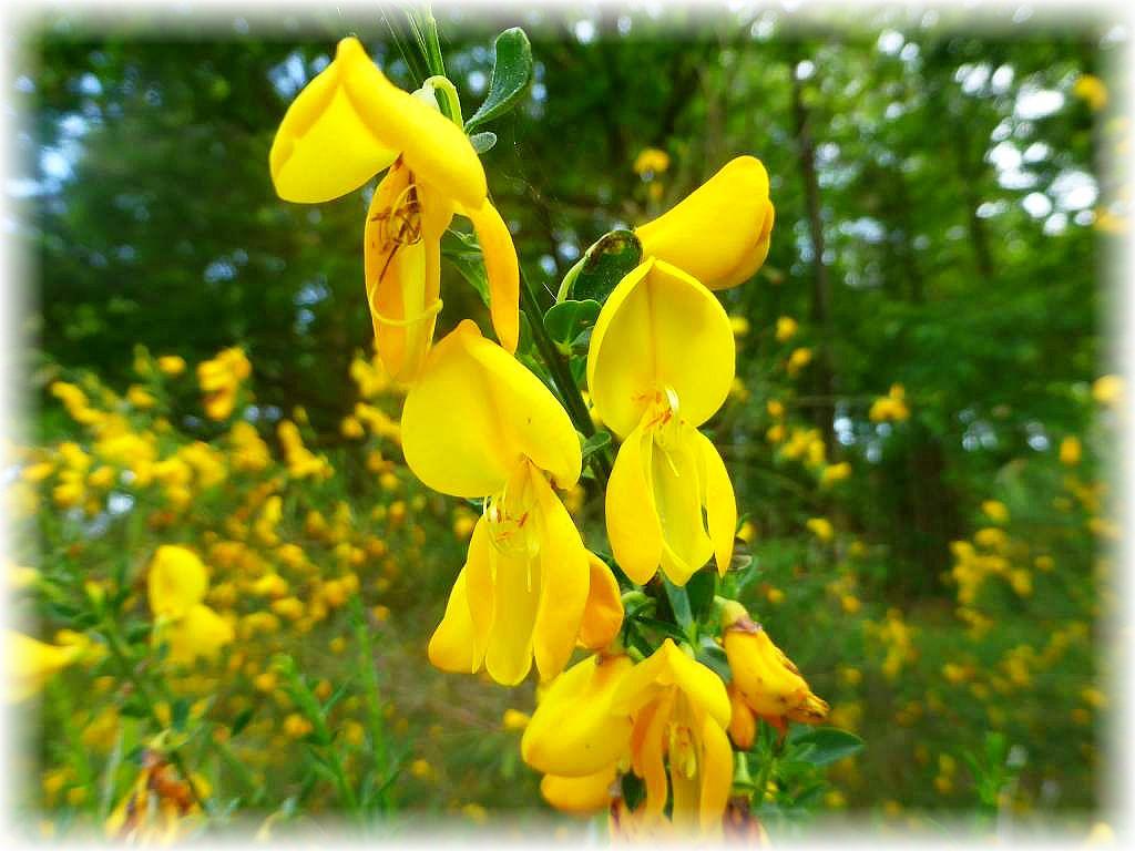 Und nochmal Blüten. Auch der Ginster satnd heute in der warmen, sandigen, heideartigen Waldlandschaft in voller Blüte.