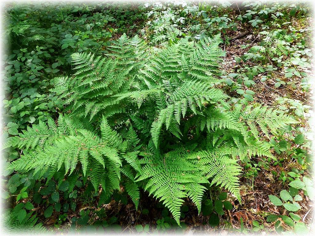 Unscheinbarer und dezenter die sattgrünen Farben der Farne. Sie haben mit Pilzen etwas gemeinsam. Sie vermehren sich durch Sporen und brauchen deshalb keine auffälligen Blüten um die Aufmerksamkeit der Insekten zu erregen.