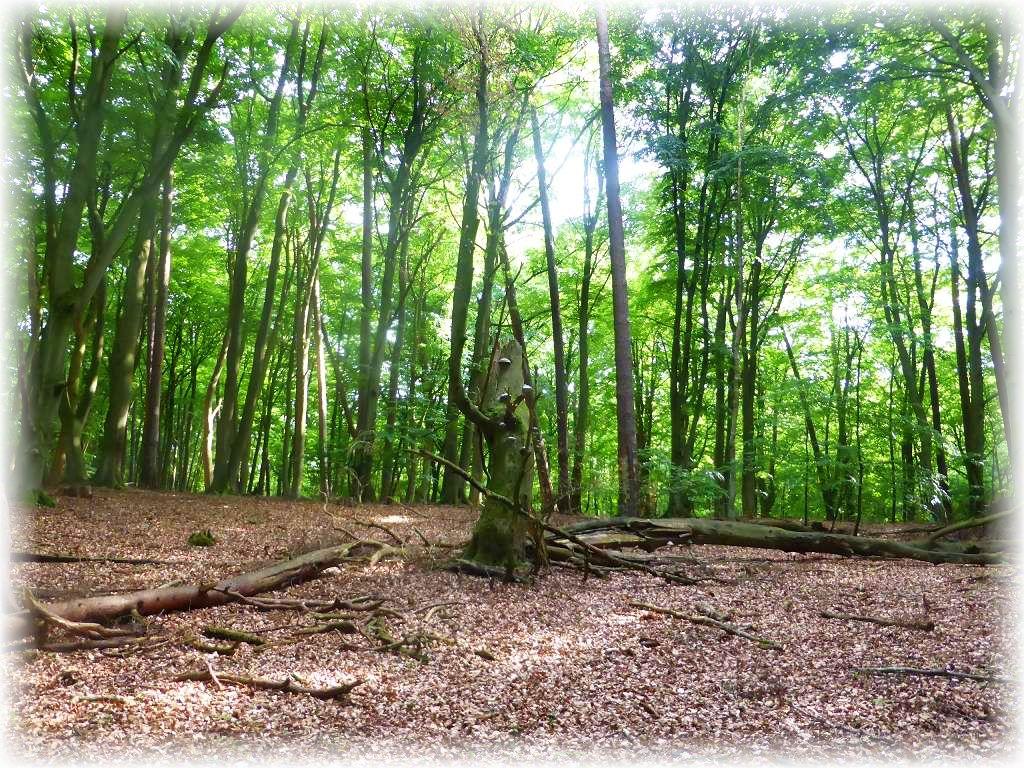 Hier bleibt auch noch das Totholz liegen und darf als Lebensgrundlage für viele Organismen dienen, natürlich auch für Pilze wie dem Echten Zunderschwamm.