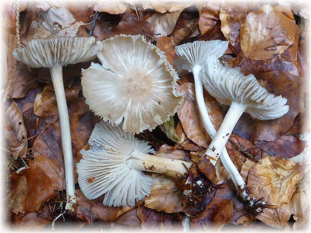 Diese Breitblätter, die zwischen dem liegendem Altholz auf obigem Foto wuchsen, sehen nach dem Regen richtig frisch aus. Dass sie aber davor schon dort standen und nicht danach gleich geschossen sind, verät die rissige Huthaut. Kein Speisepilz. Standortfoto am 14.06.2015.