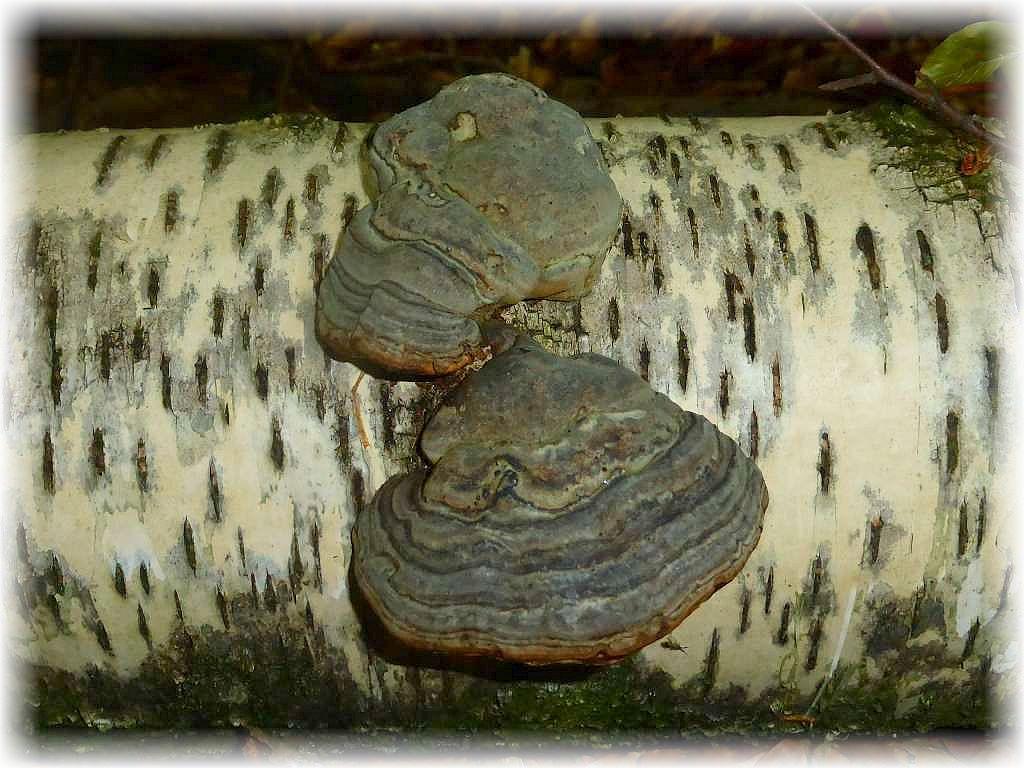 Echte Zunderschwämme (Fomes fomentarius) haben diesen toten Birkenstamm besiedelt und beschleunigen den Abbauprozeß des Holzes. Als Schwächeparasit befällt er die Bäume bereits, wenn sie noch Leben, aber schon Alt und geschwächt sind. Er erzeugt im Holz eine Weißfäule. Er befällt vorzugsweise Birken und Buchen, aber auch viele andere Laubhölzer. Ungenießbar.