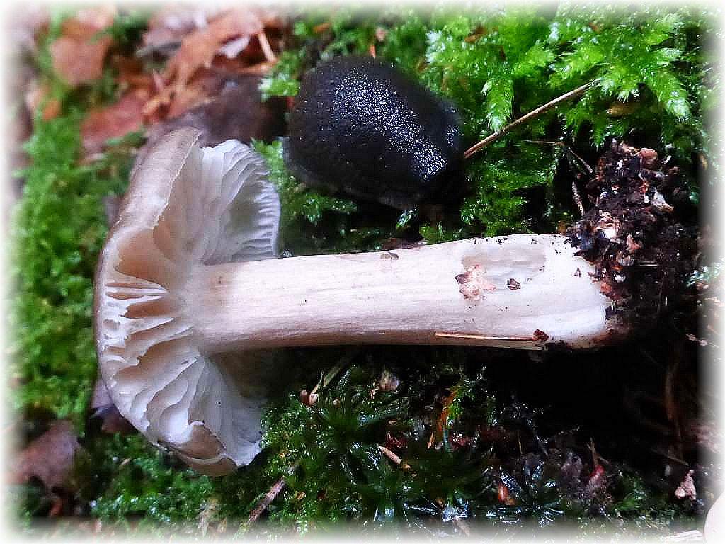 Auch die Schnecken hatten es in den letzten Wochen schwer bei dem trockenen Wetter. Sobald es aber regenfeucht in den Wäldern wird, sind auch sie sogleich auf der Suche nach Fressbarem. Mit vorliebe verspeisen sie auch allerlei Pilze. Diese hat sich an einen Breitblättrigen Großrübling (Megacollybis platyphylla) heran gemacht.