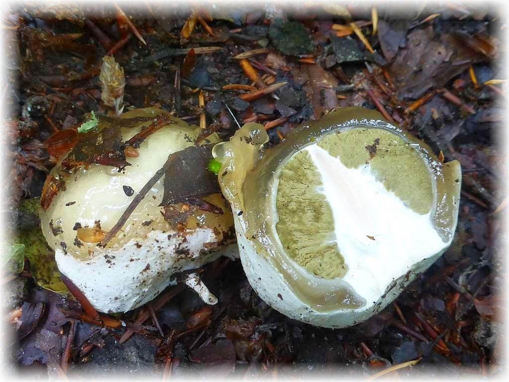 Ein sogenanntes Hexenei. Aus ihm entwickelt sich die Stinkmorchel (Phallus impudicus). Der spätere, poröse Stiel ist bereits als weißer Zapfen zu erkennen. Das grüne ist die später aasartig stinkende Sporenmasse, die Fliegen anlocken soll. In dieser Form noch essbar, wer es mag!