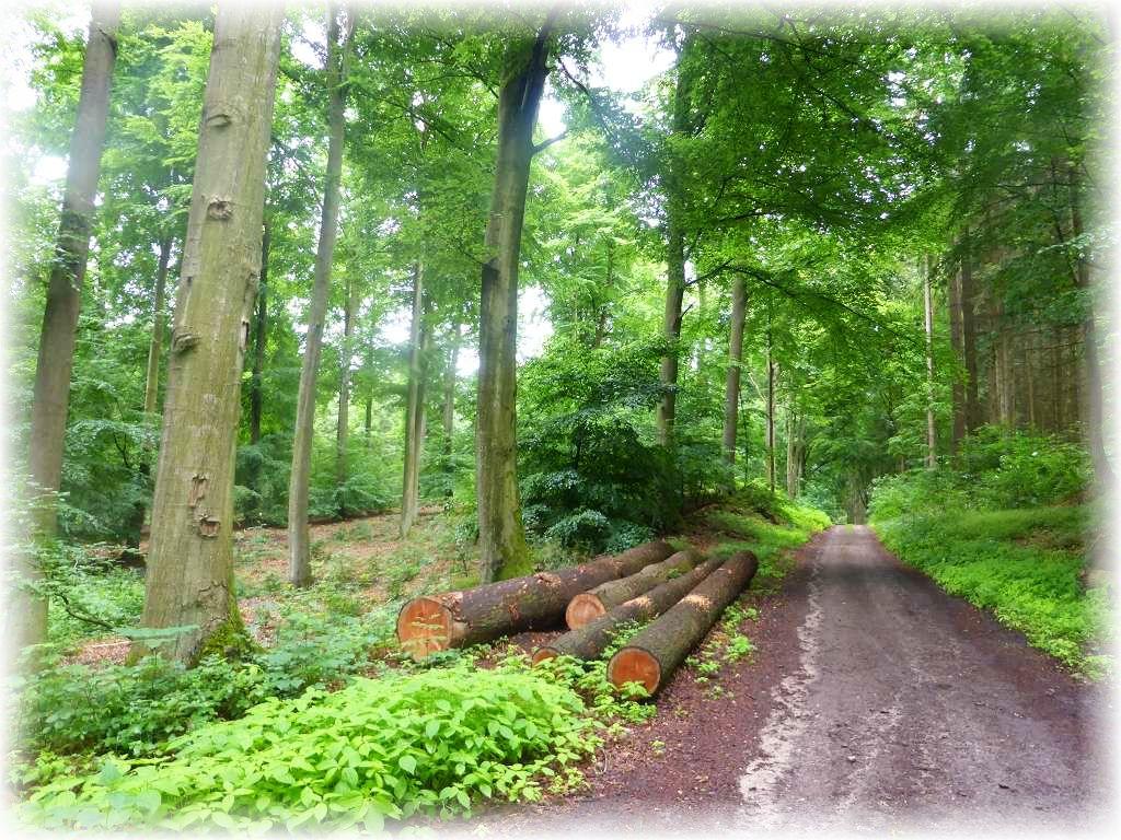 Auch der alte, solide Buchenbestand der Jamelner Forst bleibt nicht vom Holzeinschlag verschont. Es ist ebend ein forstwirtschaftlicher Baumbestand.!