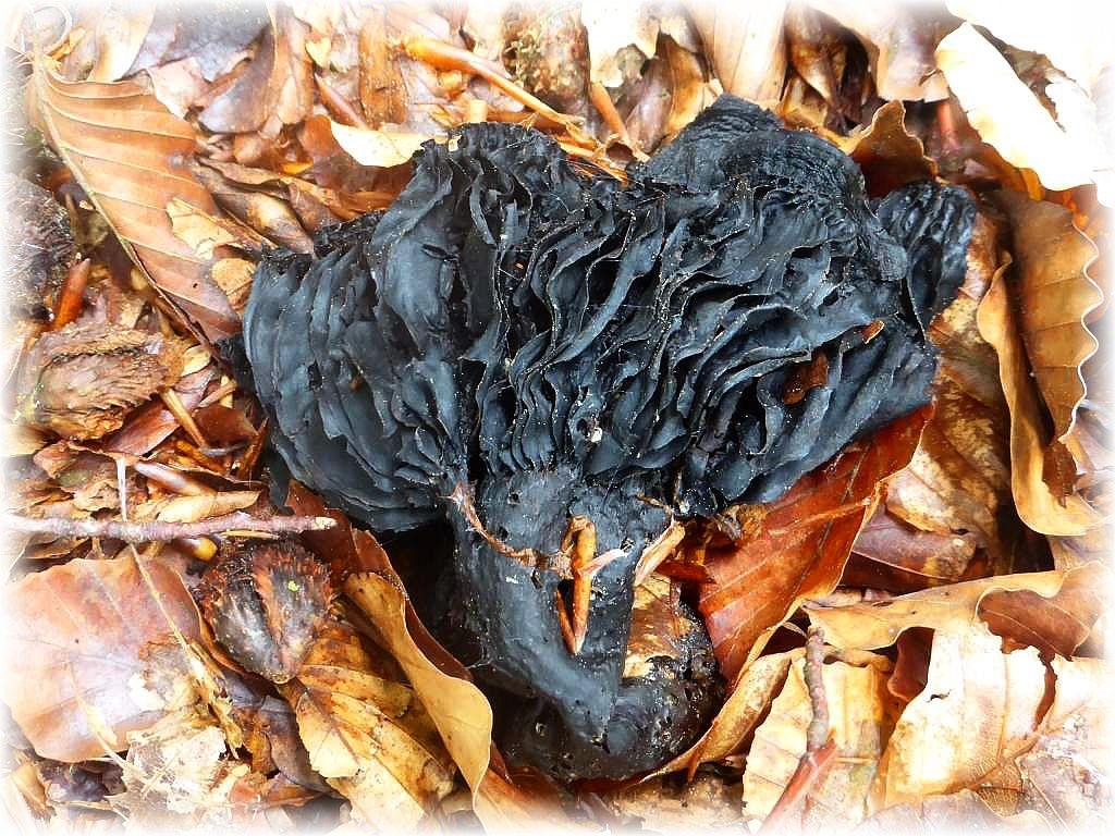 Oder dieser alte mumifizierte Fruchtkörper eine Dickblättrigen - Kohlentäublings (Russula nigricans).