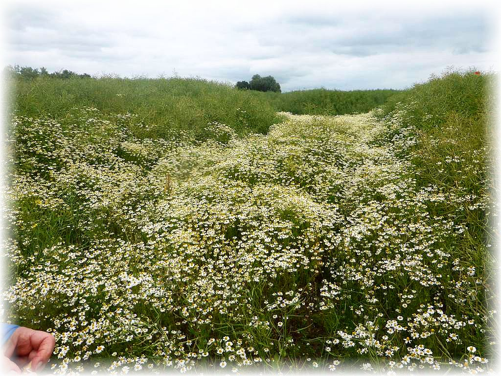 Eine regelrechte Plantage von Kamille. Es roch wunderbar, als ob gerade jemand frischen Tee gekocht hätte.