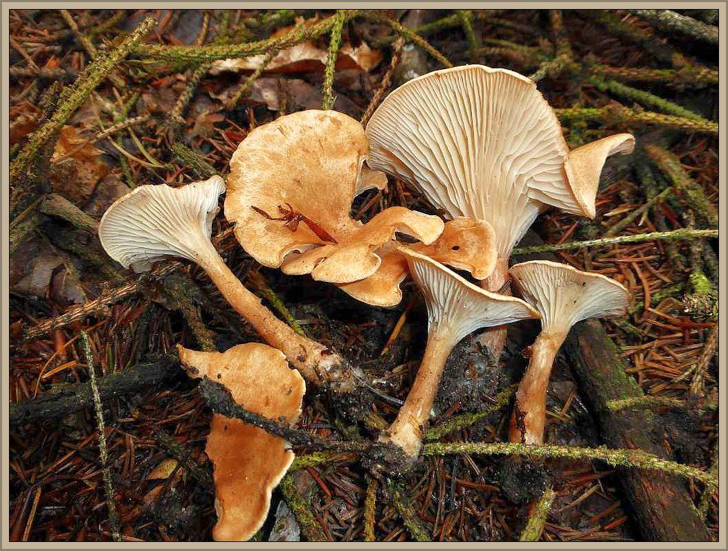 Kaum gestartet, schon die ersten Pilze am Wegesrand unter Kiefern und Fichten. Trichterlinge aus dem Verwandtschaftskreis von Clitocybe gibba. Dieser ist es aber nicht, ich vermute den Feinschuppigen Trichterling (Clitocybe squamulosa). Im Gegensatz zu weißlichen und grauen Arten dieser Gattung, sind gelbbraun gefärbte Arten nicht giftig und können gegessen werden. Aber bitte nur von Kennern! Standortfoto.
