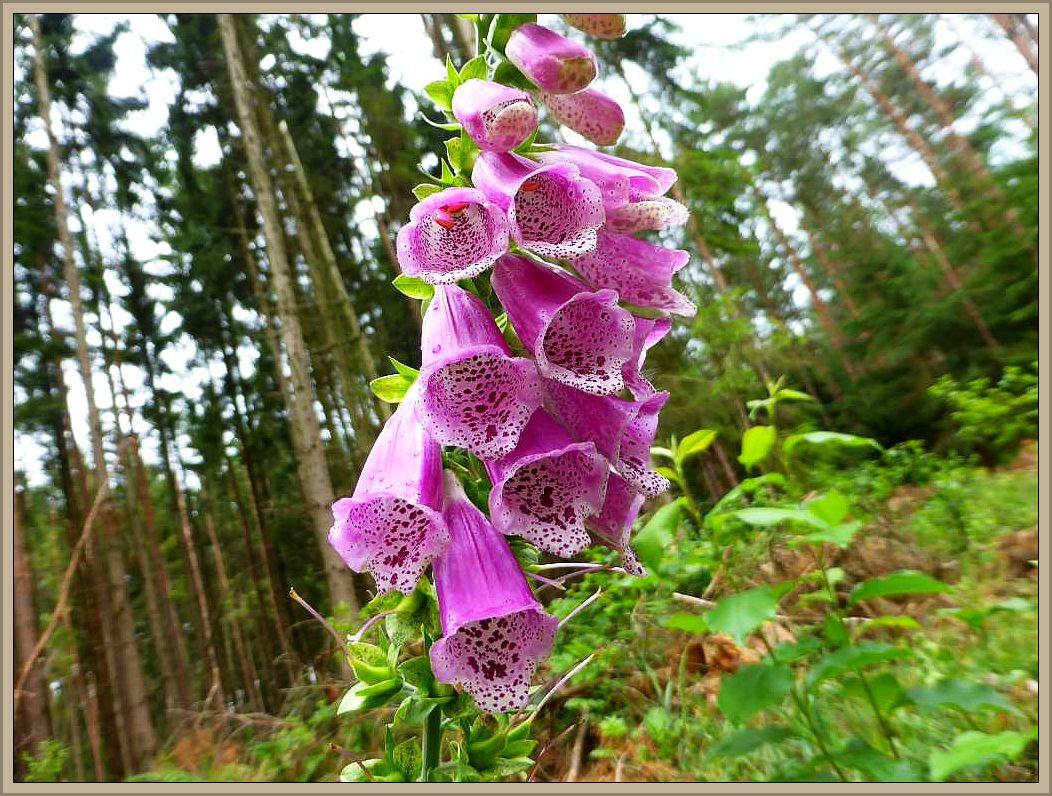 An den Wegrändern erfreute uns immer wieder der Rote Fingerhut (Digitalis purpurea). Giftig, wird aber auch als Heil- und Zierplanze genutzt.