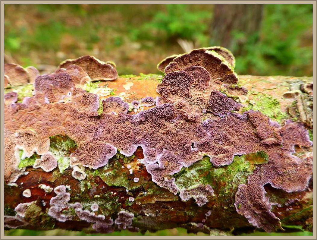 Gemeiner Violettporling (Trichaptum abietinum). Erzeugt eine Weißfäule im Nadelholz.