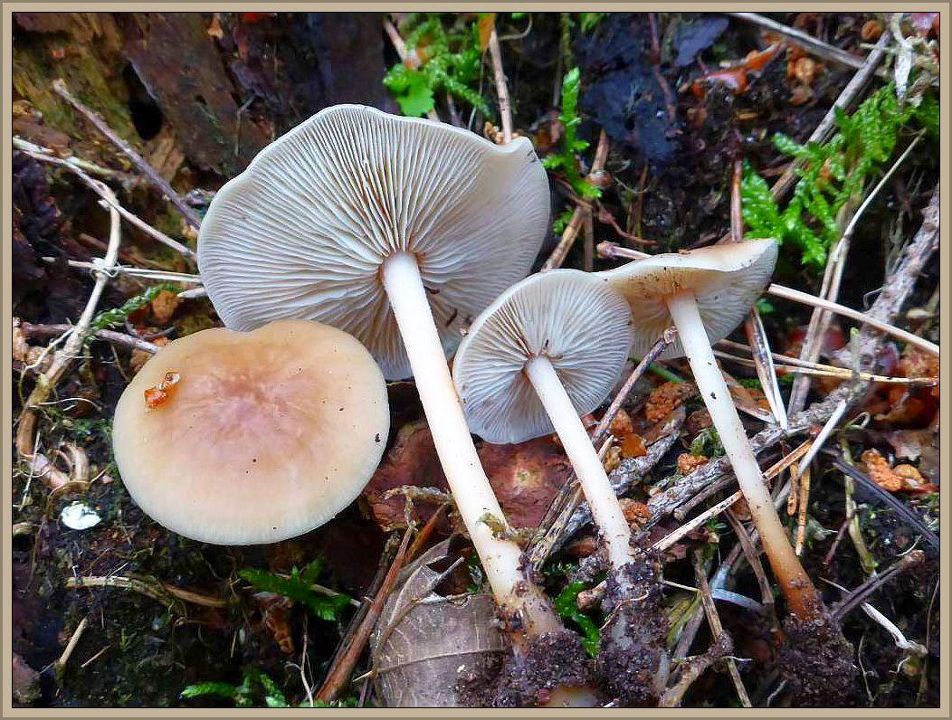 Tau- b.z.w. regenfrisch diese Waldfreund Rüblinge (Collybia dryophila). Sehr häufige, essbare Art der Laub- und Nadelwälder unterschiedlichen typs. Er ist ebend ein Freund des Waldes!
