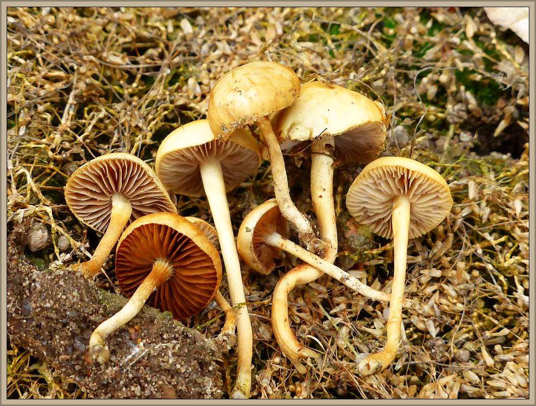 Kleine Pilze wie diese Halbkugeligen Ackerlinge (Agrocybe semiorbicularis) dürften in den nächsten Tagen rsch vertrockenen und wieder von der Bildfläche verschwinden. Ohne Speisewert. Foto: 27.06.2015 bei Barnin am Standort.