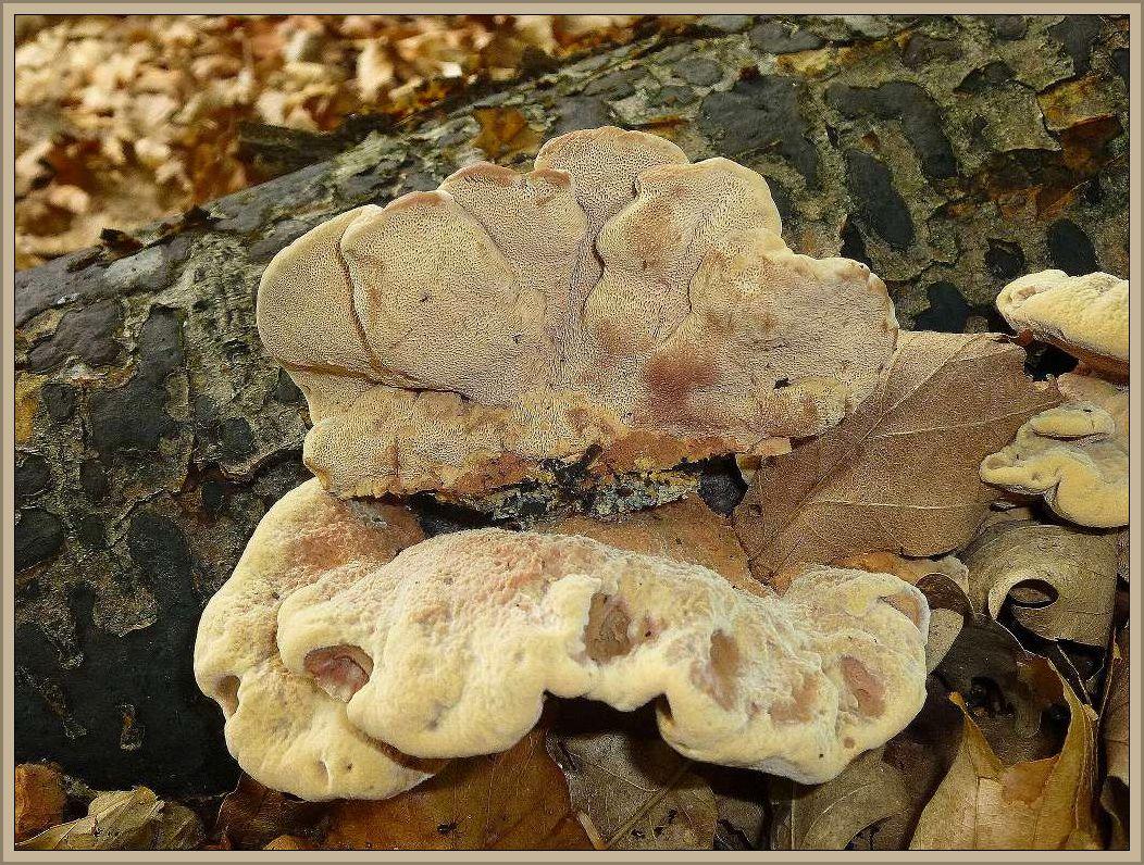 Der Zimtfarbene Weichporling (Hapalopilus rutilans) ist eine relativ häufige Art und einjährige Art an Laubhölzern. Gefunden an Erle, Birke, Hainbuche, Haselnuss, Buche, Esche, Pappel, Eiche, Linde, Ulme und anderen. Er löst im Holz eine Weißfäule aus. Der zimtfarbene, weichfleischige Porling ist giftig. Er eignet sich aber zum Färben von weißer Schafwolle. Die ausgekochte Farblösung ruft nach vorhäriger Beizung der Wolle mit Alaun + Weinstein oder Zinnchlorid + Weinstein eine schöne Fliederfarbene Tönung hervor (nach Michael - Hennig - Kreisel, Handbuch für Pilzfreunde, Bd. 2). Auch das bestreiche. Auch das bestreichen der Fruchtkörper mit KOH oder Ammoniak ruft eine rasche rosalila bis tief violette Färbung hervor. Standortfoto.