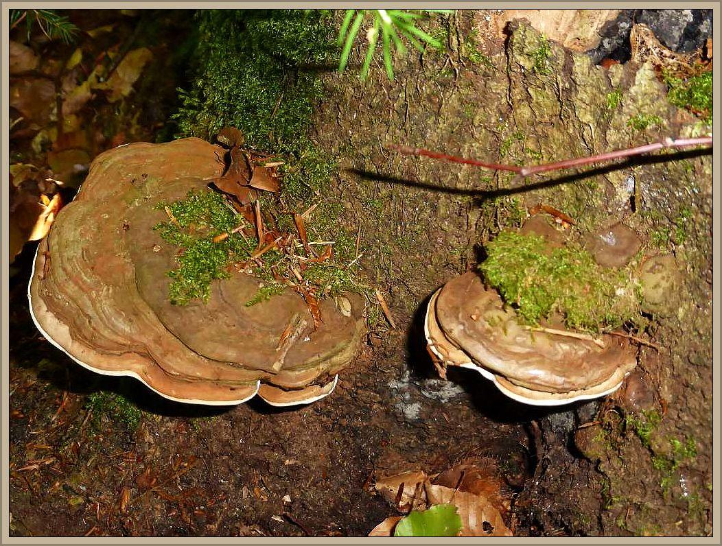 Da am gleichen Stubben diese Flachen Lackporlinge (Ganoderma lipsiense) wuchsen, könnte es sich um ein noch sehr junges Entwicklungsstadium dieses häufigen Holzbewohners handeln.