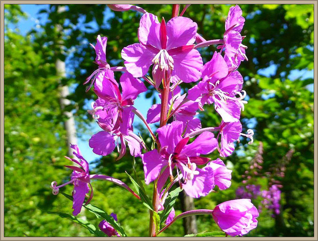 An einer Waldlichtung diese purpurroten Blütenstände von hochgewachsenen Pflanzen. Es könnte sich um das Wald - Weidenröschen (Epilobium angustifolium) handeln.