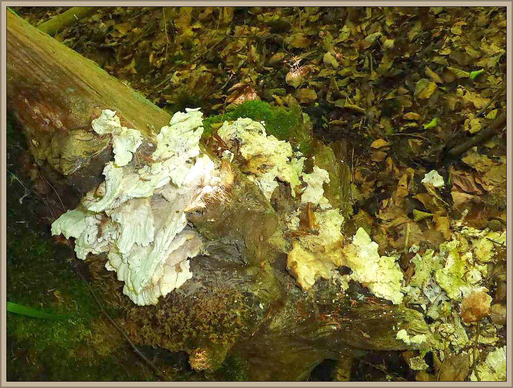 Diese gelblichweißen, käseartig vom Holz abbröckelnden Fruchtkörperkonsolen gehören zum Schwefelporling (Laetiporus sulphureus). Schwefelporlinge erzeugen eine Braunfäule, in der die helle Zellulose abgebaut wird und das Holz leicht und typisch querrissig wird.
