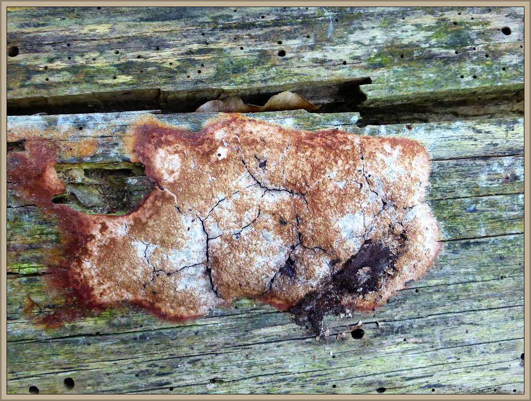 Ein eingetrockneter Schleimpilz auf einem uralten, entrindeten und trocken liegenden Buchenstamm. Um welche Art es sich handeln könnte entzieht sich meiner Kenntnis.